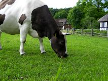 Grassing cow. Cow eating grass stock image
