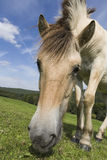Grassing Haflinger Royalty Free Stock Photo