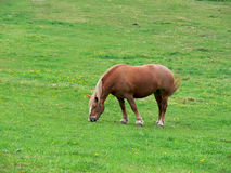 Grazing horse. Beautiful horse grazing on the meadow Stock Image