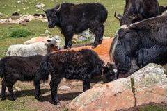 Grassing Yak herd with cubs stock photography