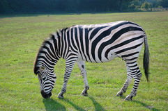 Grassing Zebra in the wild Africas green nature. Grassing Zebra in the wild Africas green natureOn a lovely sunny day stock photo
