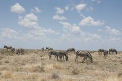 Grassing zebras Stock Photography