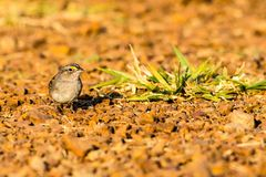 Grasslan Sparrow. A confiding bird of the Brazilian Cerrado Stock Photos