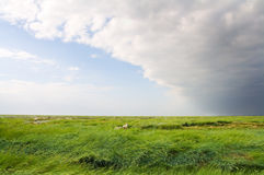 Grassland. Vast windy grassland with a dramatic sky and some sheep in a salt marsh of Nordfriesland, Germany Royalty Free Stock Images