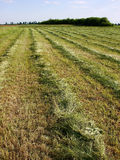 Grassland. A picture of grassland just mowed and rowed Stock Photo