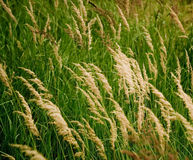 Grassland. Varieties of flowering grass plants stock photo