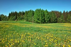 Grassland. Green meadow with blossoming dandelions, bordered by forest Royalty Free Stock Photography