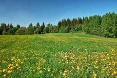 Grassland. Green meadow with blossoming dandelions, bordered by forest Stock Photos
