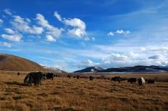 Grassland And Yak Stock Image