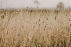 Grass in the grass filed , dry season. In countryside thailand royalty free stock images