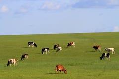 Grassland cattle on the hillside Stock Photography