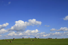 Grassland cattle on the hillside Stock Image