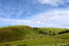 Grassland and cattles. In the grassland on the land of wild flowers, blue sky, white clouds, beautiful. In this world, I feel especially comfortable, beautiful Royalty Free Stock Images