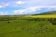 Grassland and cattles 2. In the grassland on the land of wild flowers, blue sky, white clouds, beautiful. In this world, I feel especially comfortable, beautiful Stock Photos
