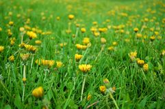 Grassland with dandelions Royalty Free Stock Photo