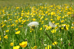Grassland with dandelions and buttercups Royalty Free Stock Image