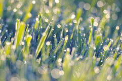Grassland with dew drops Royalty Free Stock Photos