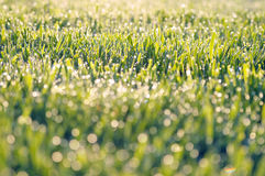 Grassland with dew drops Royalty Free Stock Photography