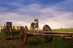 Grassland Dog Royalty Free Stock Images