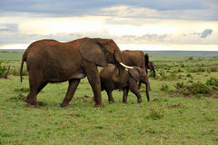 Grassland and elephant family Royalty Free Stock Photography