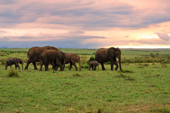 Grassland and elephant family Stock Images