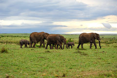 Grassland and elephant family Royalty Free Stock Photos