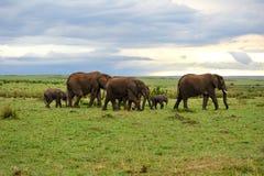 Grassland and elephant family Royalty Free Stock Photos
