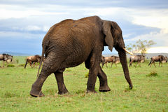 Grassland and elephant Royalty Free Stock Photo