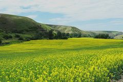 Grassland, Field, Yellow, Canola royalty free stock photography