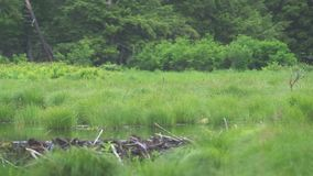 Grassland forest and beaver dam stock footage