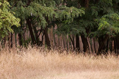 Grassland and forest Royalty Free Stock Image