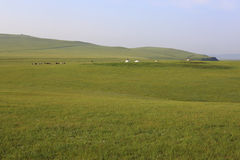 Grassland, hills, ger, cow Royalty Free Stock Photos