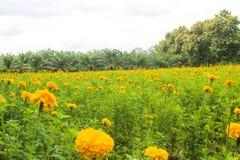 Marigolds yellow bloom meadows. stock photos