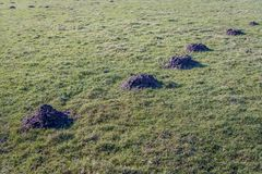 Grassland with molehills in a straight line. Grassland with a series of molehills in a straight line behind each other. It is a sunny day at the end of the Stock Photos