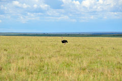 Grassland and ostrich Stock Photos