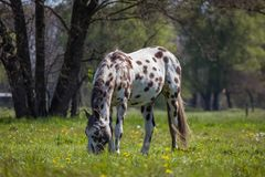 Grassland, Pasture, Horse, Grazing Royalty Free Stock Images