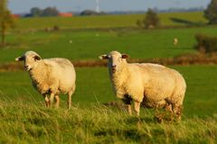 Grassland, Pasture, Sheep, Grazing royalty free stock photo