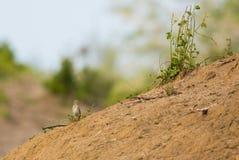 Grassland Pipit at habitat Stock Photos