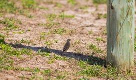 Grassland Pipit seeking shade Royalty Free Stock Images