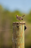 Grassland Pipit on wooden pole Stock Images