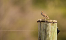 Grassland Pipit on wooden pole Royalty Free Stock Photos