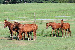 Grassland with purebred grazing horses in summer pasture Stock Photos