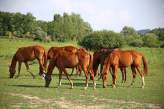 Grassland with purebred grazing horses in summer pasture Royalty Free Stock Photos