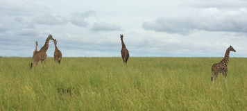 Grassland scenery with Giraffes in Africa Royalty Free Stock Photos