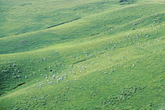 Grassland scenery. The sheeps in the green grassland stock image