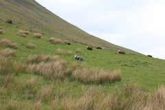 Grassland with sheep. Green grassland with white and brown sheep Stock Image