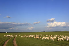 Grassland, sheep Stock Photos