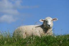 Grassland, Sheep, Pasture, Cow Goat Family Royalty Free Stock Photos