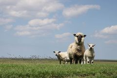 Grassland, Sheep, Pasture, Field Stock Photography