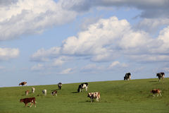 Grassland, sheep, sky, cloud Royalty Free Stock Image